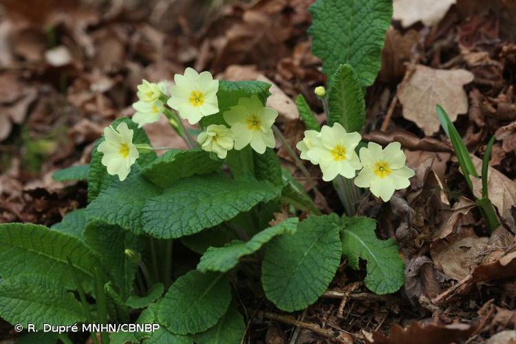 <i>Primula vulgaris </i>subsp.<i> vulgaris</i> Huds., 1762 © R. Dupré MNHN/CBNBP