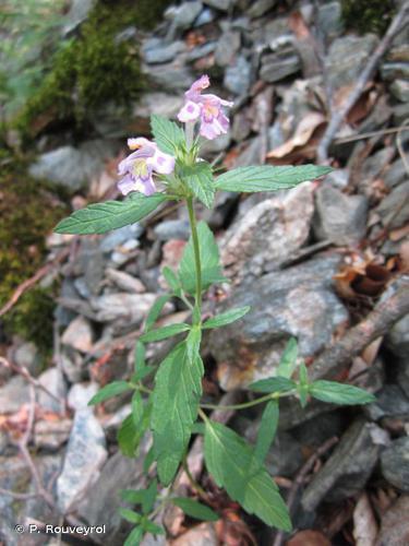 <i>Galeopsis cebennensis</i> (Braun-Blanq.) B.Bock, 2012 © P. Rouveyrol