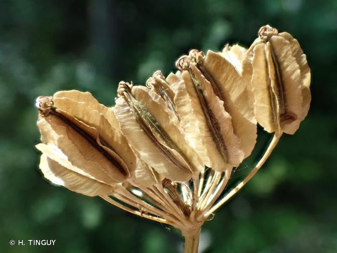 <i>Laserpitium nestleri</i> Soy.-Will., 1828 © H. TINGUY