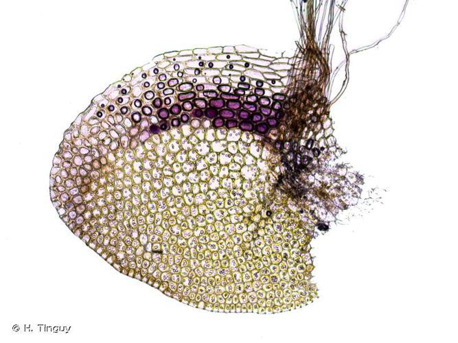 <i>Gongylanthus ericetorum</i> (Raddi) Nees, 1836 © H. Tinguy