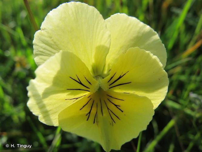 <i>Viola lutea</i> Huds., 1762 © H. Tinguy