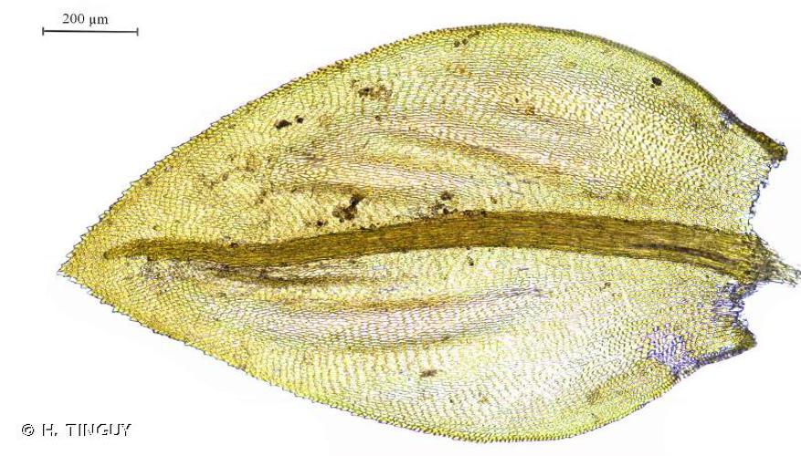 <i>Scorpiurium deflexifolium</i> (Solms) M.Fleisch. & Loeske, 1907 © H. TINGUY