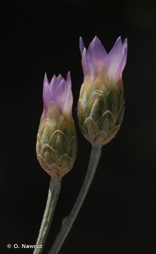 <i>Xeranthemum cylindraceum</i> Sm., 1813 © O. Nawrot