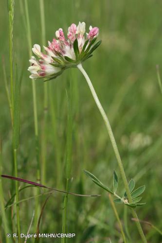 <i>Anthyllis vulneraria </i>subsp.<i> vulneraria</i> L., 1753 © R. Dupré MNHN/CBNBP