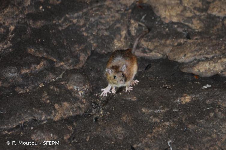 Rat surmulot © F. Moutou - SFEPM