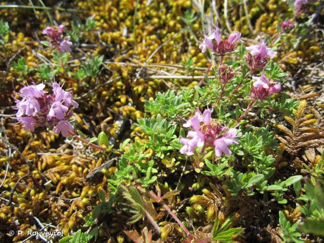 <i>Thymus dolomiticus</i> H.J.Coste, 1893 © P. Rouveyrol