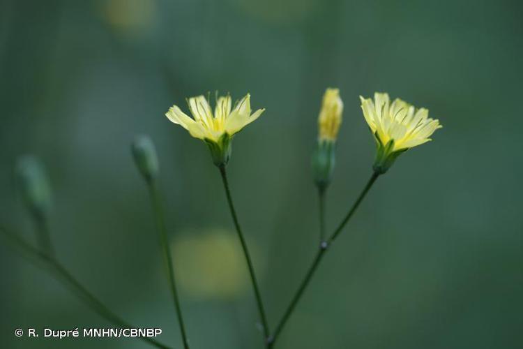 <i>Lapsana communis </i>subsp.<i> communis</i> L., 1753 © R. Dupré MNHN/CBNBP