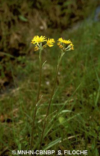 <i>Tephroseris helenitis</i> (L.) B.Nord., 1978 © MNHN-CBNBP S. Filoche