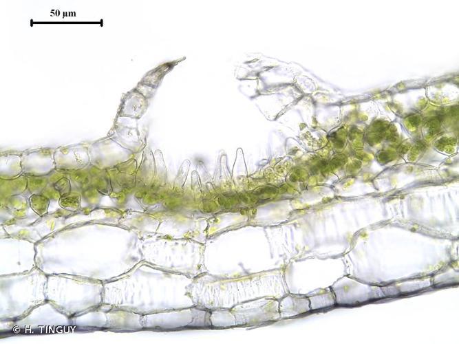 <i>Conocephalum salebrosum</i> Szweyk., Buczkowska & Odrzykoski, 2005 © H. TINGUY