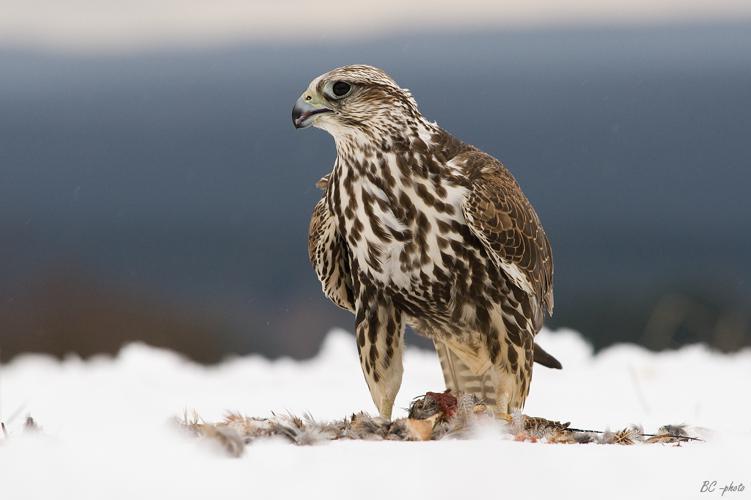 Falco cherrug 1 (Bohuš Číčel).jpg © Bohuš Číčel (http://www.flickr.com/photos/bcicel/)