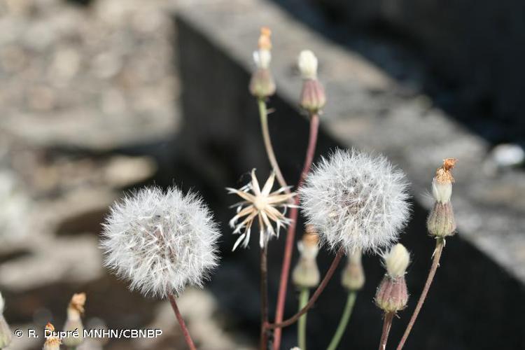 <i>Crepis foetida </i>subsp.<i> foetida</i> L., 1753 © R. Dupré MNHN/CBNBP