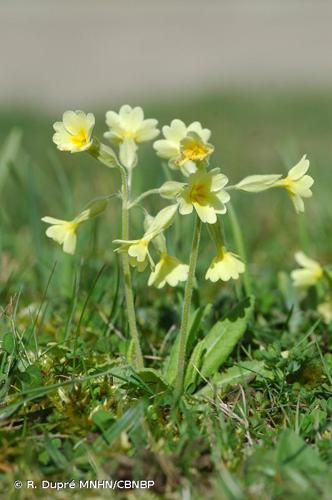 <i>Primula </i>x<i> polyantha</i> Mill., 1768 © R. Dupré MNHN/CBNBP
