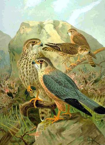 Falco columbarius NAUMANN.jpg © Commons