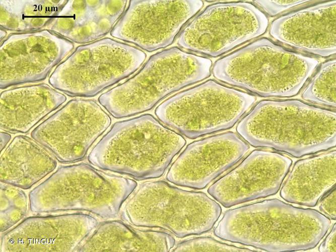 <i>Bryum elegans</i> Nees, 1827 © H. TINGUY