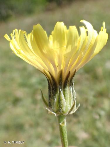 <i>Crepis albida</i> Vill., 1779 © H. TINGUY