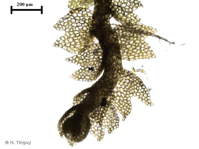 <i>Mesoptychia badensis</i> (Gottsche ex Rabenh.) L.Söderstr. & Váňa, 2012 © H. Tinguy