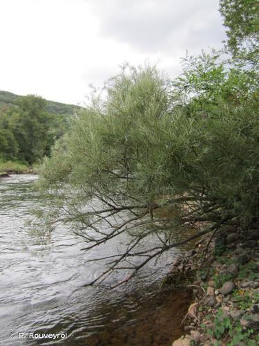 <i>Salix eleagnos</i> Scop., 1772 © P. Rouveyrol