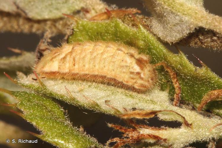<i>Quercusia quercus</i> (Linnaeus, 1758) © S. Richaud