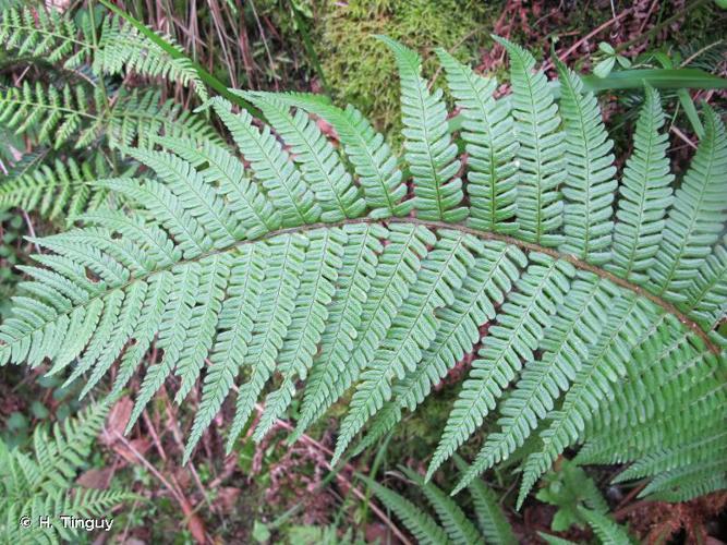 <i>Dryopteris affinis </i>subsp.<i> affinis</i> (Lowe) Fraser-Jenk., 1979 © H. Tinguy