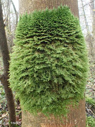 <i>Alleniella complanata</i> (Hedw.) S.Olsson, Enroth & D.Quandt, 2011 © H. TINGUY