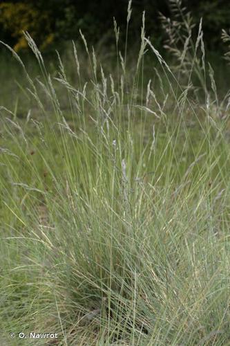 <i>Festuca ovina </i>subsp.<i> guestfalica</i> (Boenn. ex Rchb.) K.Richt., 1890 © O. Nawrot