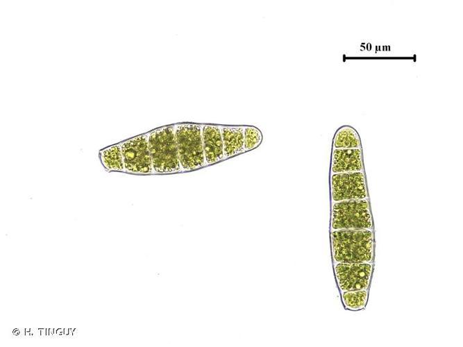<i>Zygodon conoideus</i> (Dicks.) Hook. & Taylor, 1818 © H. TINGUY