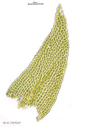 <i>Heterocladium flaccidum</i> (Schimp.) A.J.E.Sm., 2006 © H. TINGUY