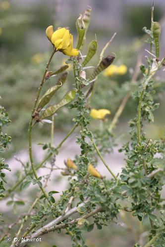 <i>Adenocarpus complicatus </i>subsp.<i> complicatus</i> (L.) J.Gay, 1836 © O. Nawrot
