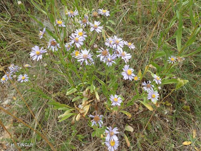 <i>Galatella sedifolia </i>subsp.<i> rigida</i> (DC.) Greuter, 2005 © H. TINGUY