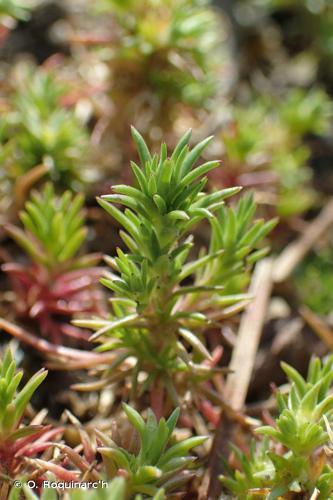 <i>Scleranthus annuus </i>subsp.<i> annuus</i> L., 1753 © O. Roquinarc'h