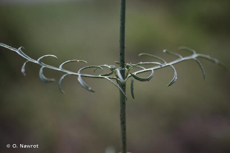 <i>Cephalaria leucantha</i> (L.) Schrad. ex Roem. & Schult., 1818 © O. Nawrot