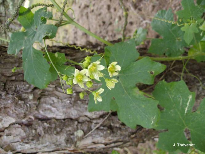 <i>Bryonia cretica </i>subsp.<i> dioica</i> (Jacq.) Tutin, 1968 © J. Thévenot
