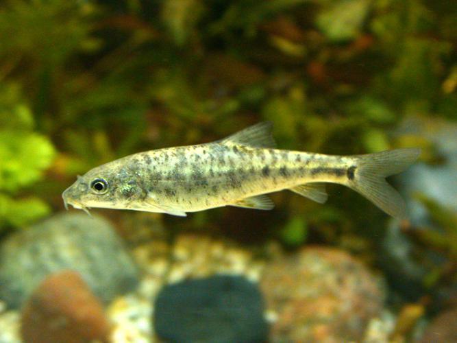Barbus Barbus (juvenile).JPG © Sven.petersen