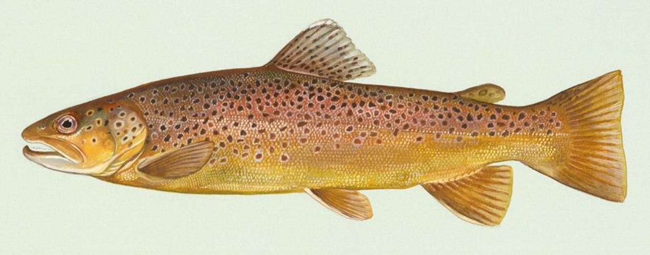 Bachforelle Zeichnung.jpg © Duane Raver, U.S. Fish and Wildlife Service