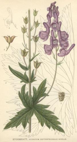 Aconitum septentrionale.jpg © Commons