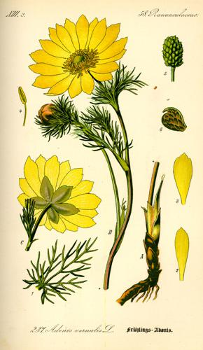 Illustration Adonis vernalis0.jpg © Commons