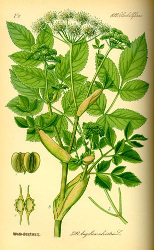 Illustration Angelica silvestris0.jpg © Commons