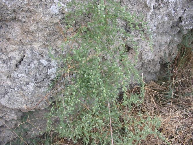Asparagus acutifolius habito.jpg © Commons