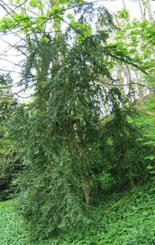 Buxus sempervirens.jpg © No machine-readable author provided. MPF assumed (based on copyright claims).