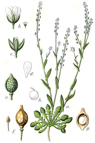 Crambe corvini Sturm31.jpg © Johann Georg Sturm (Painter: Jacob Sturm)