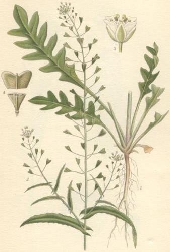 Capsella bursa pastoris lomme.jpg © Commons