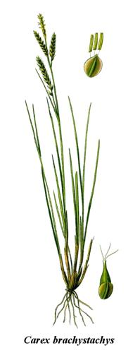 Cleaned-Illustration Carex brachystachys.jpg © Commons