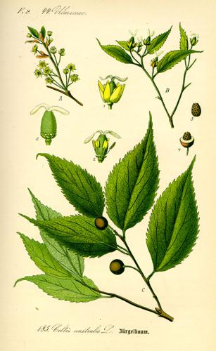 Illustration Celtis australis0.jpg © Commons