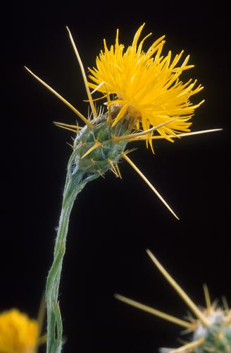 Yellow star thistle.jpg © Peggy Greb