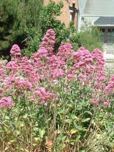 GardenValerian.jpg © Commons