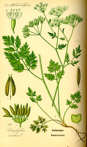 Illustration Chaerophyllum temulentum0.jpg © Commons