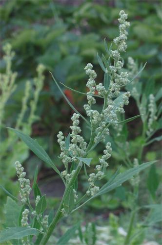 Melganzenvoet bloeiwijze Chenopodium album.jpg © Rasbak