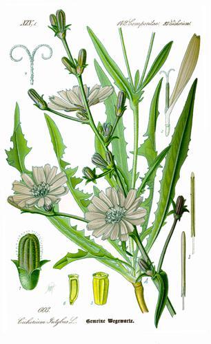 Illustration Cichorium intybus0 clean.jpg © Original book source: Prof. Dr. Otto Wilhelm Thomé Flora von Deutschland, Österreich und der Schweiz 1885, Gera, Germany