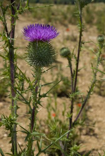 Cirsium vulgare carriere-fossoy 02 23062008 02.jpg © Olivier Pichard