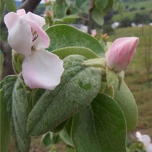 Quince flowers.jpg © Fir0002 at English Wikipedia